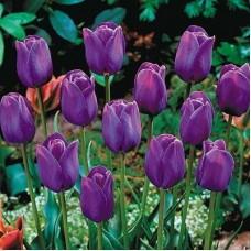 Тюльпан темно-фиолетовый